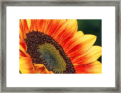 Evening Sun Sunflower Framed Print