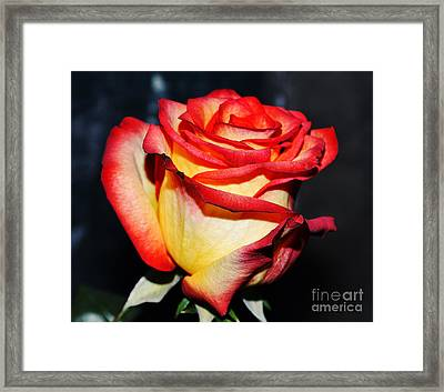 Event Rose 3 Framed Print by Felicia Tica