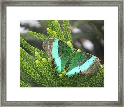 Ever Green Butterfly Framed Print