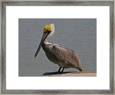 Everglades Brown Pelican Framed Print by Kathleen Scanlan