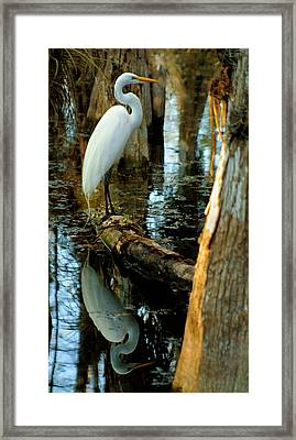 Everglades Egret Framed Print by Daniel Woodrum