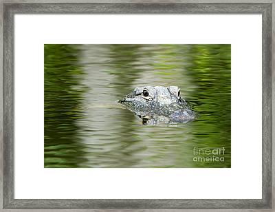 Everglades 'gator Framed Print