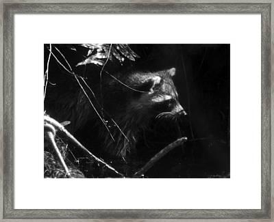 Everglades Raccoon Framed Print