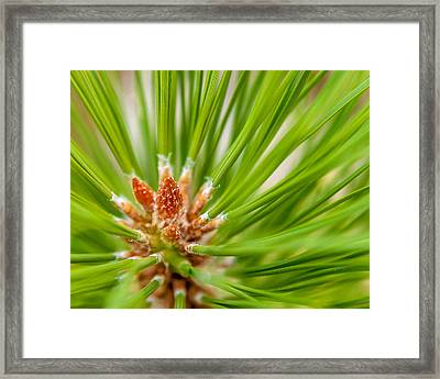 Evergreen 001 Framed Print