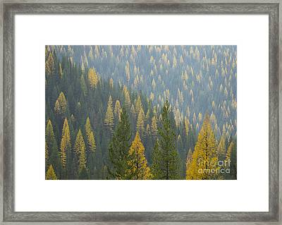Evergreen And Gold Framed Print by Idaho Scenic Images Linda Lantzy