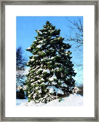 Evergreen In Winter Framed Print by Susan Savad