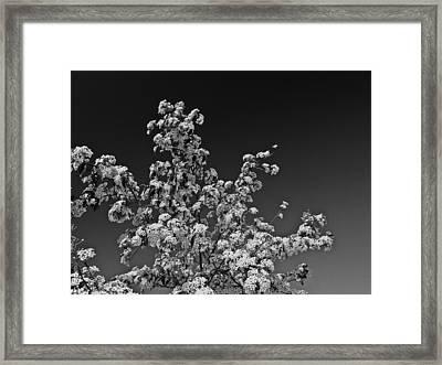Evergreen Pear Bw Framed Print