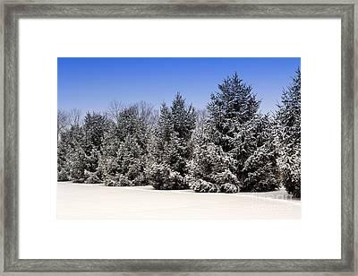 Evergreen Trees In Winter Framed Print
