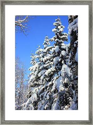 Evergreen Trees In Winter Framed Print by Jim Sauchyn