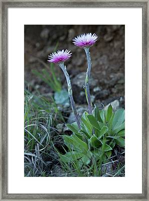 Everlasting (helichrysum Ecklonis) Framed Print by Bob Gibbons