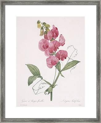 Everlasting Pea Framed Print by Pierre Joseph Redoute