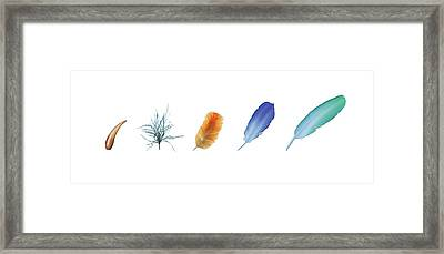 Evolution Of Feathers Framed Print