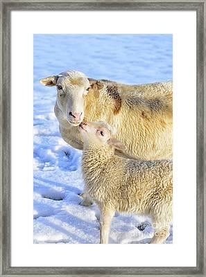 Ewe And Winter Lamb Framed Print by Thomas R Fletcher