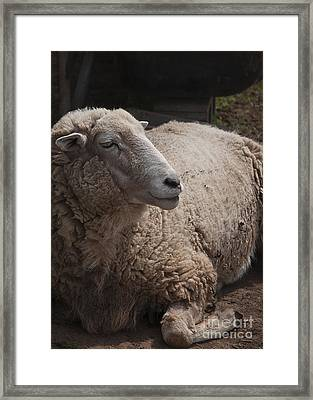 Ewe Framed Print by Terry Rowe