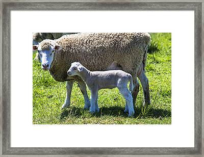 Ewe With Her Lamb Framed Print