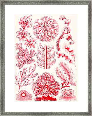 Examples Of Florideae From Kunstformen Der Natur Framed Print by Ernst Haeckel