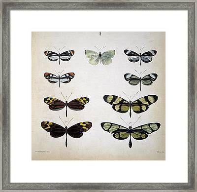 Examples Of Mimicry Among Butterflies Framed Print by Science Photo Library
