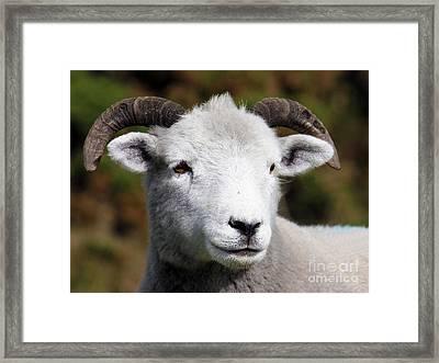 Exmoor Horn Sheep Framed Print by Terri Waters