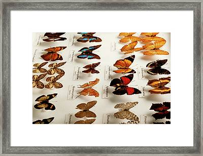 Exotic Butterfly Collection Framed Print by Mauro Fermariello/science Photo Library
