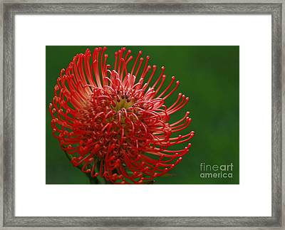 Exotic Pincushion Flower Framed Print by Inspired Nature Photography Fine Art Photography