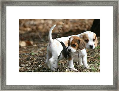 Exploring Beagle Pups Framed Print