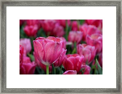 Framed Print featuring the photograph Explosion Of Pink by Tammy Espino