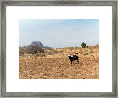 Extensive Cow Farming On Corn Field Framed Print