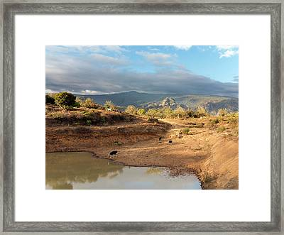 Extensive Cow Farming With Water Hole Framed Print