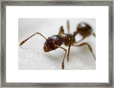 Extreme Macro Ant Framed Print by Mr Bennett Kent