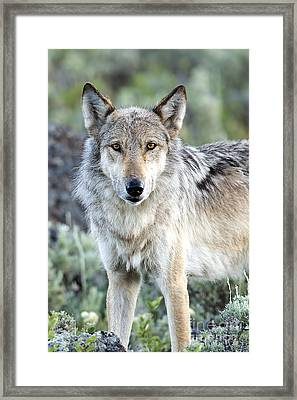 Eye Contact With A Gray Wolf Framed Print