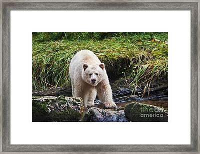 Eye Contact With Spirit Bear Framed Print by Melody Watson