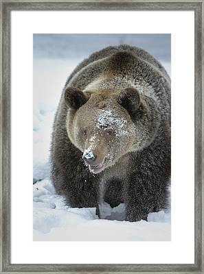 Eye Of Grizzly Framed Print