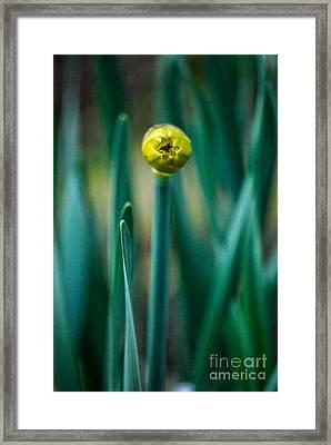 Eye Of The Daffodil Framed Print by Cynthia Lagoudakis