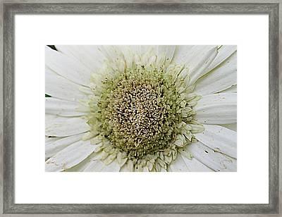 Eye Of The Daisy Framed Print by Sarah E Kohara