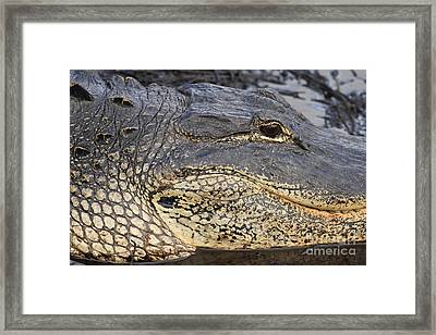 Eye Of The Gator Framed Print by Adam Jewell