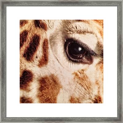 Eye Of The Giraffe Framed Print