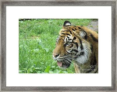 Framed Print featuring the photograph Eye Of The Tiger by Lingfai Leung