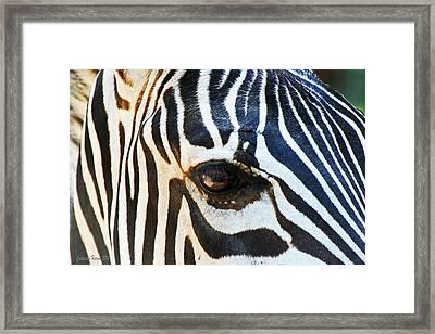 Eye Of The Zebra Framed Print by Catherine Harms
