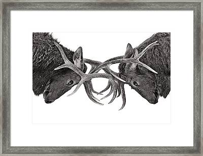 Eye To Eye - Elk Fight Framed Print