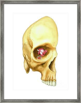 Eyeball Muscles, Artwork Framed Print