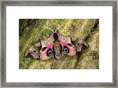 Eyed Hawk-moth Framed Print by Nigel Downer