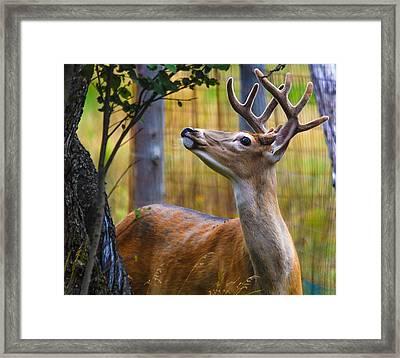 Eyeing Apples  Framed Print