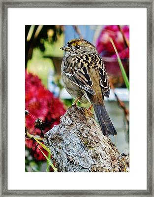 Eyeing The Sparrow Framed Print by VLee Watson