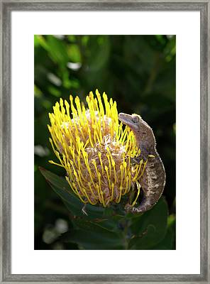 Eyelash Gecko On Proteus Flower, Cal Framed Print by Rob Sheppard