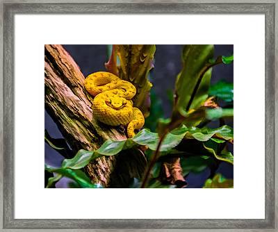 Eyelash Viper 2 Framed Print