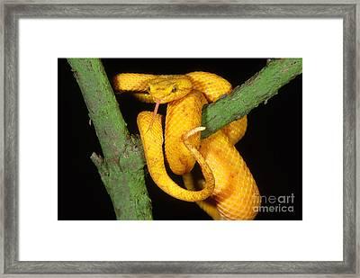 Eyelash Viper Framed Print by Art Wolfe