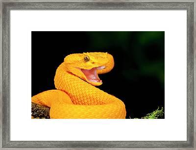 Eyelash Viper, Bothriechis Schlegeli Framed Print by David Northcott