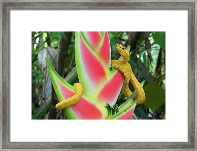 Eyelash Viper (bothriechis Schlegelii Framed Print by Andres Morya Hinojosa