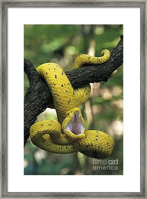 Eyelash Viper Framed Print by David T Roberts  Nature's Images