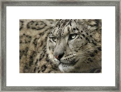 Eyes Of A Snow Leopard Framed Print